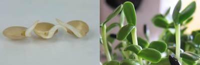 Lentilles germées et pousses de tournesol