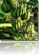 Bananes-plantain