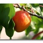 abricot-vitamines.jpg