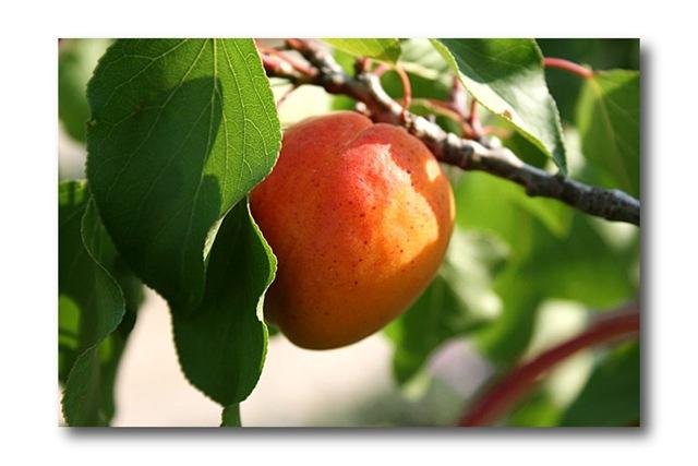 abricot aliment bon pour les yeux