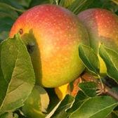 recette au gingembre pomme cox