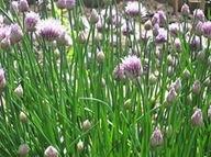 ciboulette-fleurie